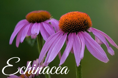 Medicinal Herb to grow Echinacea
