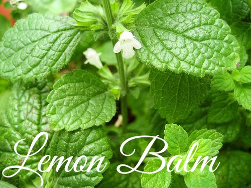 Medicinal Herbs to Grow Lemon Balm