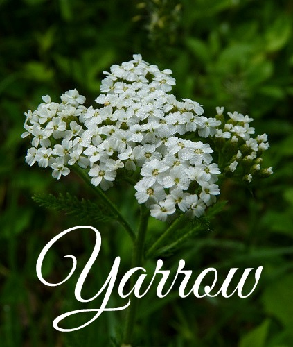 Medicinal Herbs to Grow Yarrow