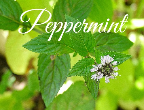 medicinal herbs to grow peppermint