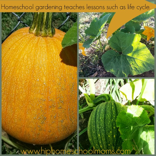 Homeschool gardening teaches so many life lessons hands on. Life cycles is just one of them. | Hip Homeschool Moms