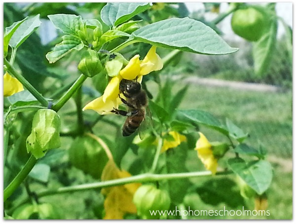 Bee on my tomatillos last year. | Hip Homeschool Moms