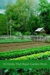 herbs that repel garden pests