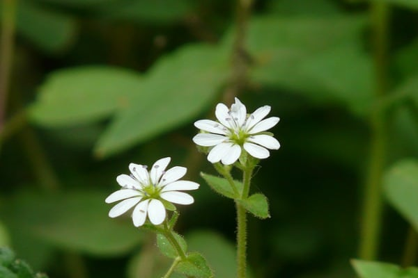 chickweed Plants That Can Improve Your Health