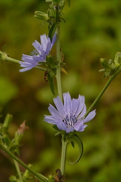 chicory Plants That Can Improve Your Health