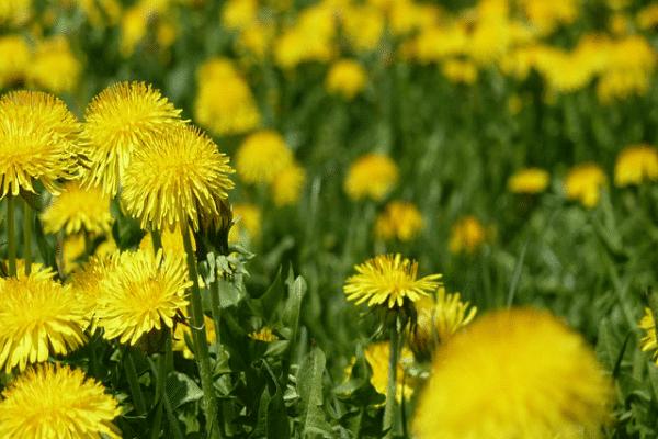 dandelion Plants That Can Improve Your Health