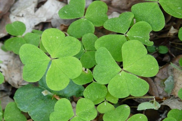 wood sorrel Plants That Can Improve Your Health