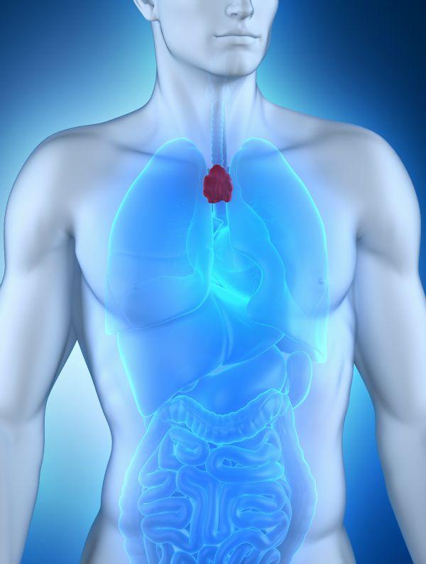 Male thymus anatomy
