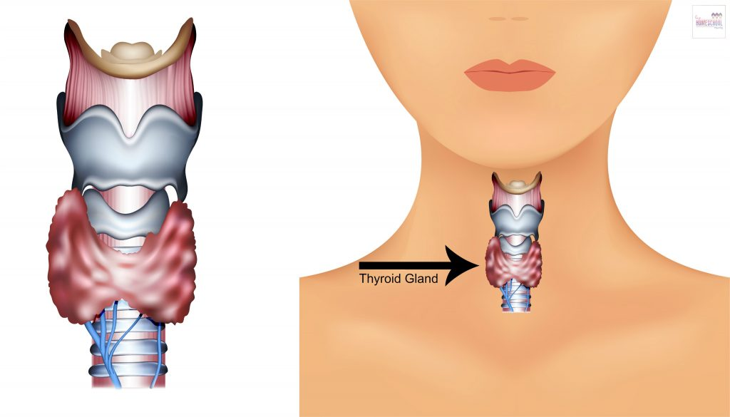 thyroid gland diagram