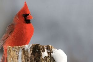 red bird on tree stump in snow