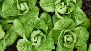 Romaine Lettuce Recalled
