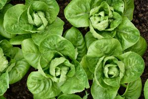 Romaine Lettuce Recalled