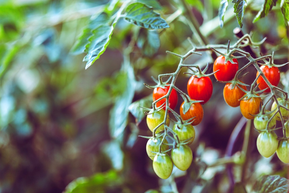 cherry tomatoes on the vine ripe